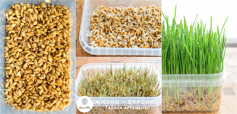 проращивание микрозелени